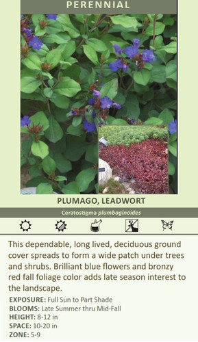 PLUMAGO, LEADWORT Ceratostigma plumbaginoides This dependable, long lived, deciduous ground cover spreads to form a wide patch under trees and shrubs. Brilliant blue flowers and bronzy red fall foliage color adds late season interest to the landscape. EXPOSURE: Full Sun to Part Shade BLOOMS: Late Summer thru Mid-Fall HEIGHT: 8-12 in SPACE: 10-20 in ZONE: 5-9