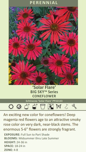 Solar Flare' BIG SKY Series CONEFLOWER Echinacea 'Solar Flare' PP22133 An exciting new color for coneflowers! Deep magenta red flowers age to an attractive smoky rose color on very dark, near-black stems. The enormous 5-6 inch flowers are strongly fragrant.  EXPOSURE: Full Sun to Part Shade BLOOMS: Midsummer thru Late Summer HEIGHT: 24-36 in SPACE: 18-24 in ZONE: 4-8