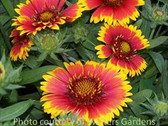 Gaillardia aristata 'Arizona Sun'