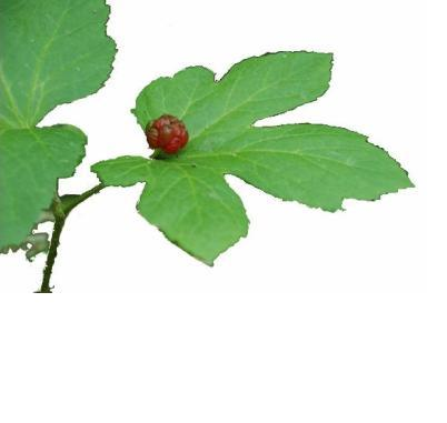 goldenseal-photo-page.jpg