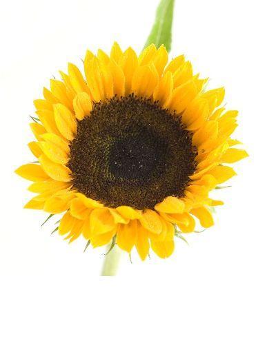 sunflower-photo-page2.jpg