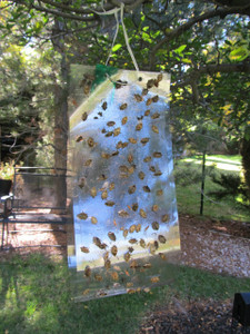 Clear Sticky Trap + Stink Bug Lure