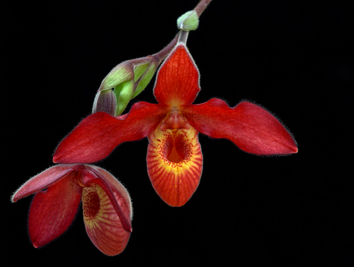 """Andean Fire - Phragmipedium Andean Fire. One name for this essence could have been """"Resurrecting Courage and Purpose"""", even when overwhelmed by the suffering all around, even in the face of absolute physical challenge. Would help those who have been victims of torture or major disasters in this or a past life. This is a major essence to address the horrors of human suffering and a way to experience what is meant by The Compassion of Christ."""