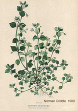 Chickweed bontanical picture