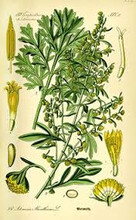 wormwood botanical picture