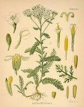 Yarrow botanical pictures