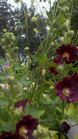 inspried from my Oregon garden : ) hollyhock with unusual 'scabiosa giganteus' 7ft tall pincushion flower