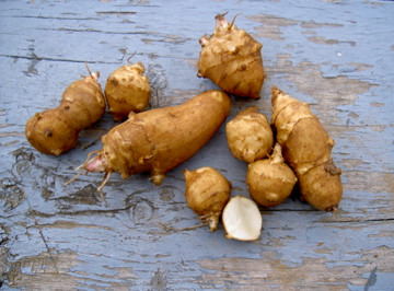 Jerusalem Artichokes Kings Lancaster White