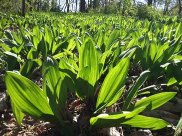 Ramps (Allium tricoccum) Potted Plant
