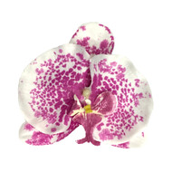 White Purple Tropical Moth Orchid Realistic Realistic Flower Hair Clip
