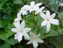 Jasmine Vanilla Lotion