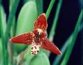 Max. tenuifolia (species)