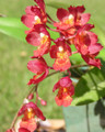 Hwra. Lava Burst &#039;Puanani&#039;
