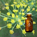 Fennel Oil - 1/2 Ounce