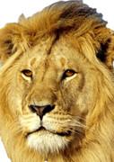 African Lion 2017  Tv Celebrity Face Mask
