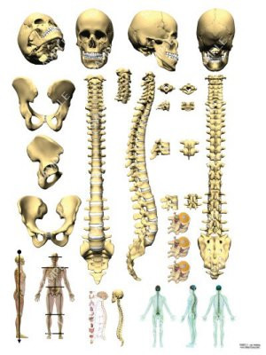 Skull and spine anatomy
