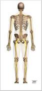 Image from Bonus Anatomy File