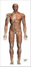 Muscle Chart A-P Life-Sized Collection