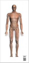 Transparent Muscle Chart A-P Life-Sized Collection