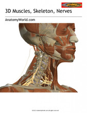 3D Interactive Muscles Skeleton Nerves