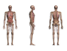 Male Anatomy 3 Views  Chart  Life-Sized Collection