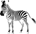 Wall Decals and Stickers - Zebra Animal