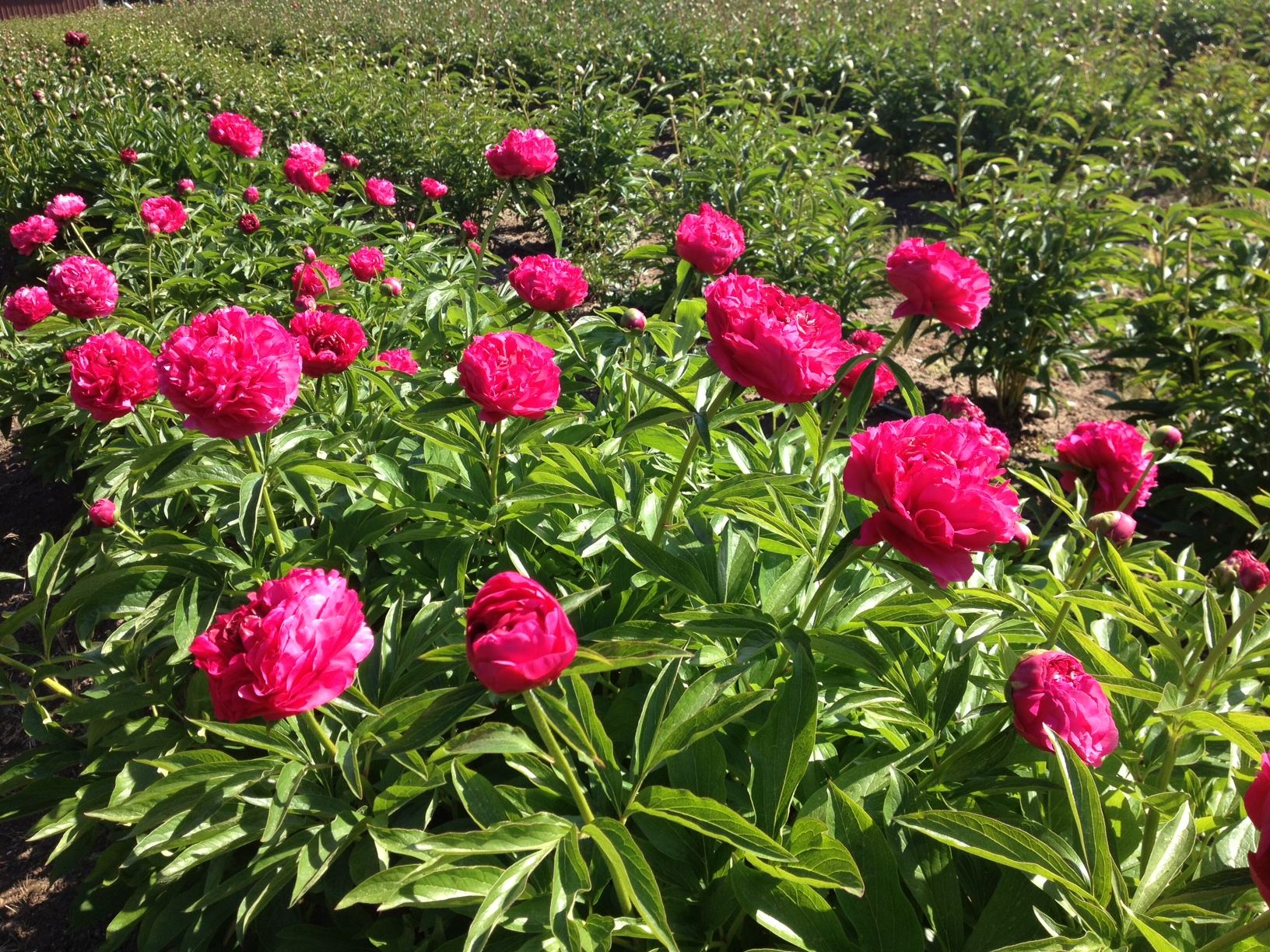 Pretty peonies are popping Flyboy Naturals LLC