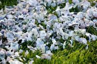 Cheryl's Hydrangea Petals