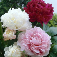 Assorted Colors Peony 100 STEMS- FREE SHIPPING