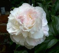 Blush Peony Flowers 20