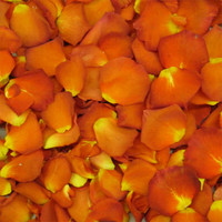 Orange Gingersnap Preserved freeze Dried Rose Petals