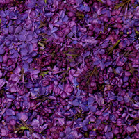 Unique Flower Petals & Blends: Deep Purple Preserved Freeze Dried Lilac Petals