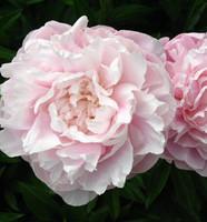 Light Pink Peony 30