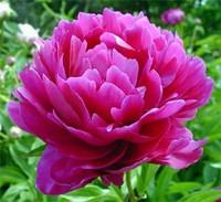 Fuchsia Peony Flowers 100