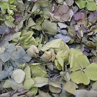 Hydrangea Petals #3