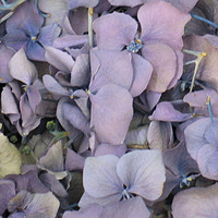 5 Lavender Preserved Freeze Dried Hydrangea Petals
