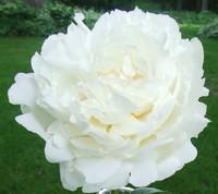 White Peony Flowers 100