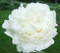 White Peony Flowers 50- FREE SHIPPING