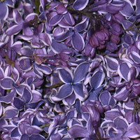 Unique Flower Petals & Blends: Sensation Preserved Freeze Dried Lilac Petals