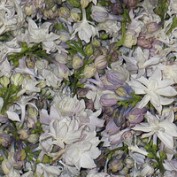 Unique Flower Petals & Blends: White Lilac Preserved Freeze Dried Petals