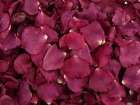 Festive Fuchsia | Fame Rose Petals