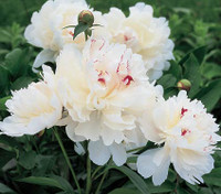 Festiva Maxima is a beautiful double white Peony. Packed 50 stems per box. Grown on our family farm in Oregon.