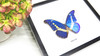 Blue butterfly Morpho rhetenor helena Bits & Bugs