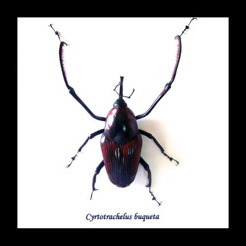Cyrtotrachelus buqueti