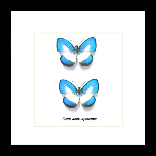 Australian butterfly Danis danis Bits & Bugs