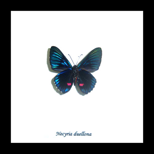 Taxidermy real butterfly Necyria duellona Bits&Bugs