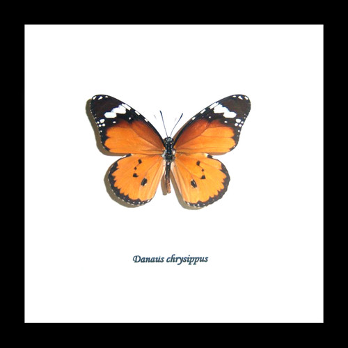 Real Butterfly in shadowbox Danaus chrysippus Bits&Bugs