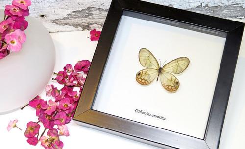 Framed butterfly Cithaerias aurorina Bits & Bugs