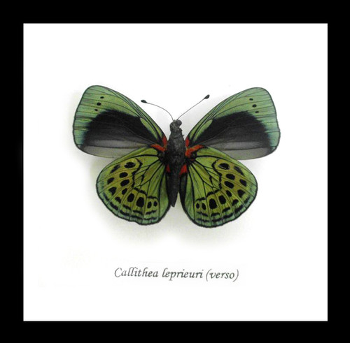 Callithea leprieuri bits & bugs