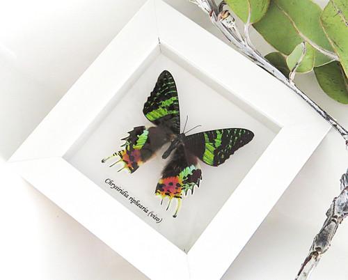 Sunset moth Bits & Bugs